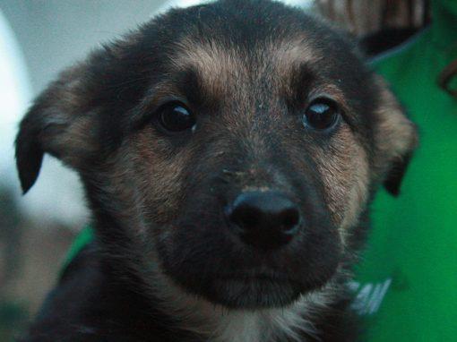 Belgian Shepherd x pups