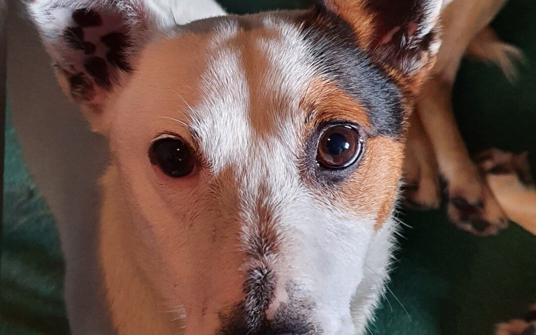 31st Aug – Jack Russel found in Lucan
